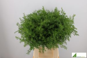 Asparagus cwebe