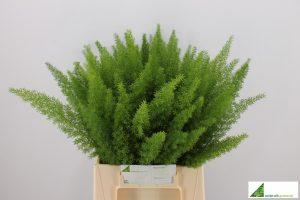 Asparagus myers