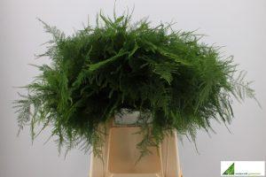 Asparagus setaceus 1e veren